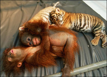 baby_orangutans_and_tigers_together